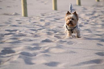 Yorkshire Terrier runs through the sand.