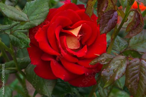Macro Di Una Rosa Rossa Con Sfumature Gialle Stock Photo And