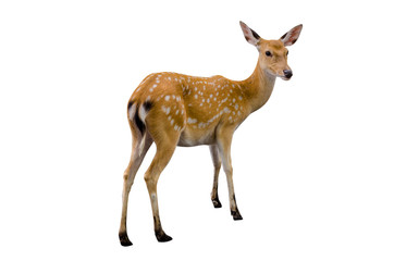 Poster Hert baby deer isolated in white background