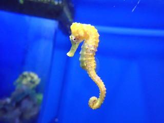 beautiful yellow seahorse