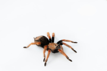 Mexican Fireleg (Brachypelma boehmei) the beautiful tarantula on white background isolated. Selective focus.