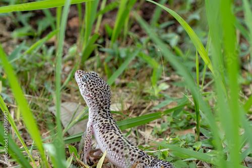 Adorable leopard gecko morph mack snow (Eublepharis