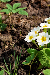 White primula flowers are blooming on a flowerbed in the garden