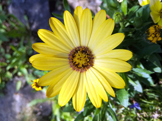 Bright yellow blossom of Osteospermum, close up image of beautiful yellow African daisy flower in garden with blurred background. Cape daisy flower.