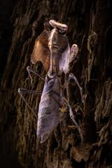 deroplatys lobata climbs the bark of a tree