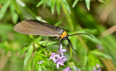 A wasp moth called Virginia Ctenucha (Ctenucha virginica). These are active mostly in the day, and are found in the Eastern states of the US. This one was found in some ground cover in Houston, TX.