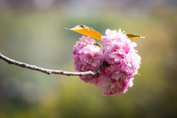 Close-up of beautiful sakura tree flower (cherry blossom)