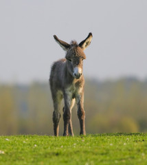 Cute baby donkey on floral pasture