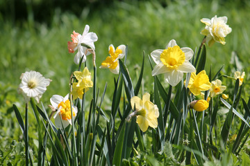 Green flowerbed with flowers of daffodils of different cultivars