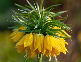Gelbe Kaiserkrone (Fritillaria imperialis)