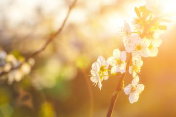 Cherry tree blossoms under sun rays