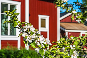 apple branch with flowers at spring sunny day with blurred swedish red house at the background