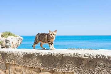 Vieste, Apulia - A cat walking on the surrounding wall of Vieste