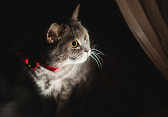 A strained British cat in a butterfly looks into the darkness