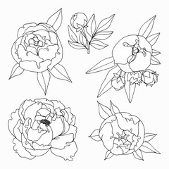 Peonies. Hand drawing. Set of vector illustrations