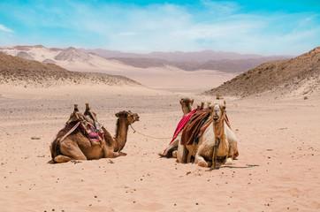 Camel in arabic desert in the summer heat