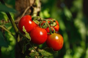 une grappe de tomate  rouge gros plan jardin bio