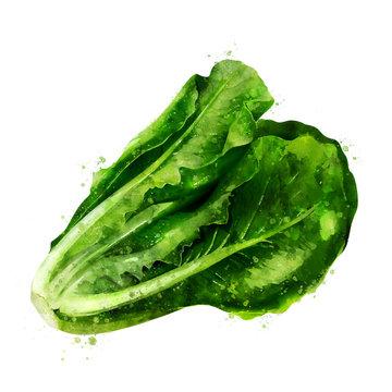 Lettuce on white background. Watercolor illustration