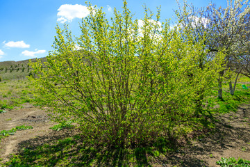Hazelnut shrub - Corylus avellana