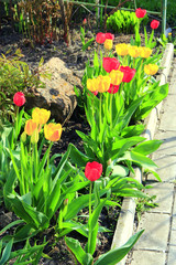 Tulips yellow and red on flower-bed in April. Springtime garden. Landscape design