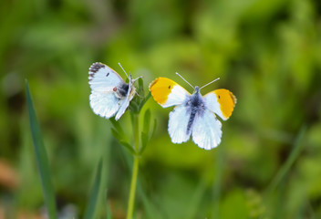 a pair of orange tip butterflies