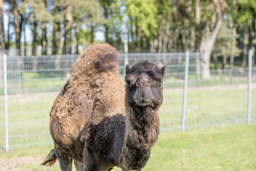 Camel in the zoo. An African animal locked in a cage.
