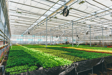 Ornamental plants and flowers grow for gardening in modern hydroponic greenhouse nursery or glasshouse, industrial horticulture