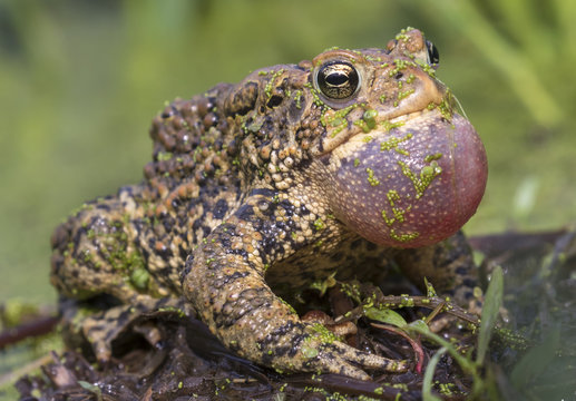 Male American toad (Anaxyrus americanus) calling sac inflated, covered with duckweed, Iowa, USA.