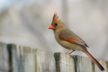 Female Cardinal Sitting on Wood Privacy Fence