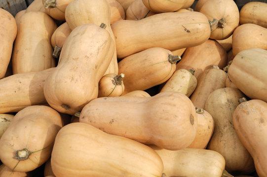 butternut squash pile in harvest season