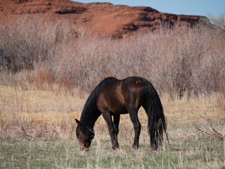 A Dark Brown Wild Horse with black mane and tail grazing on short green grass in the Bighorn Canyon National Recreation Area