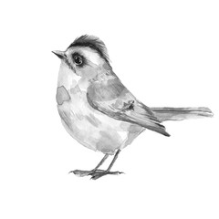 Bird. Black and white watercolor illustration, isolated on white backgound