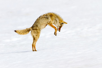 Coyote Hunting (Norris Canyon Rd) - Yellowstone