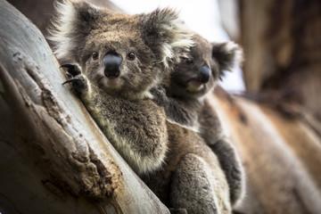 Wild koala seen along the way to Cape Otway Lightstation Melbourne Australia Great Ocean Road