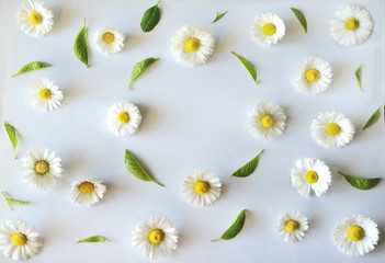 floral pattern, frame of flowers of daisies (chamomiles) and green leaves on a white background. flat, top view