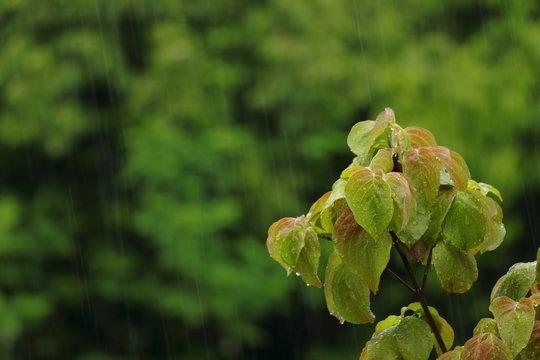 雨降りの中の木