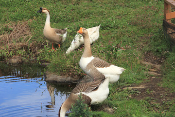Pictures of geese, animals, birds gathering at the waterside