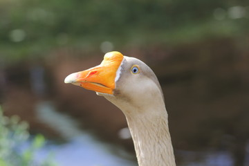 Pictures of ups of goose's face | Animals / birds