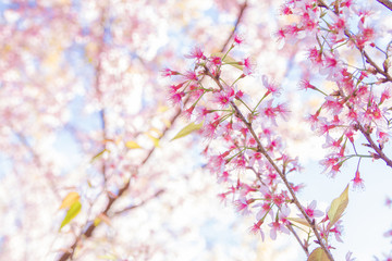 Spring border or background art with pink Sakura blossom. Beautiful nature Spring flowers. in springtime