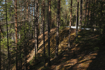 Spring in the coniferous forest