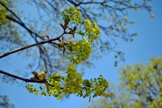 Silver Maple blooming twigs, blue spring sky background