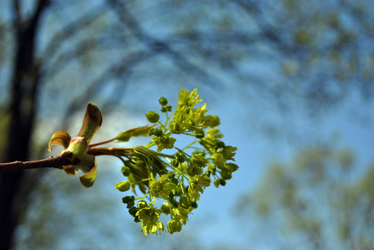 Silver Maple blooming brunch, blue spring sky background
