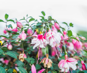 Close up of pink white fuchsia flowers, outdoor nature