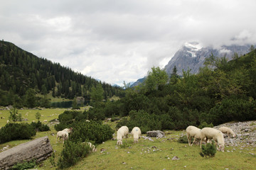 A herd of sheeps in Ehrwald mountains at Seebensee lake