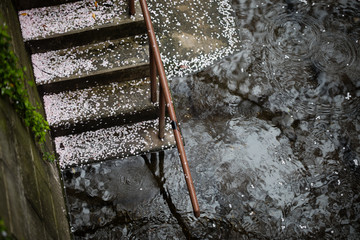 雨上がりの桜の花びら after the rain