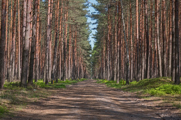 Droga przez wysoki, sosnowy las. Wall mural