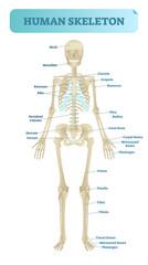 Human skeletal system, anatomical model. Medical vector illustration poster, educational information.