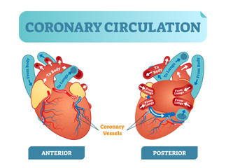 Coronary circulation anatomical cross section diagram, labeled vector illustration scheme. Blood flow circuit from body through heart and lungs and back to the body.