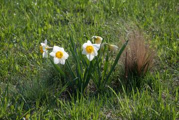 Daffodil Sempre Avanti (narcissus) flowers