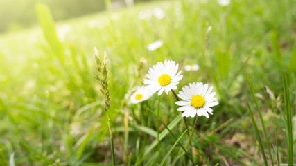 two daisy flowers in the green grass
